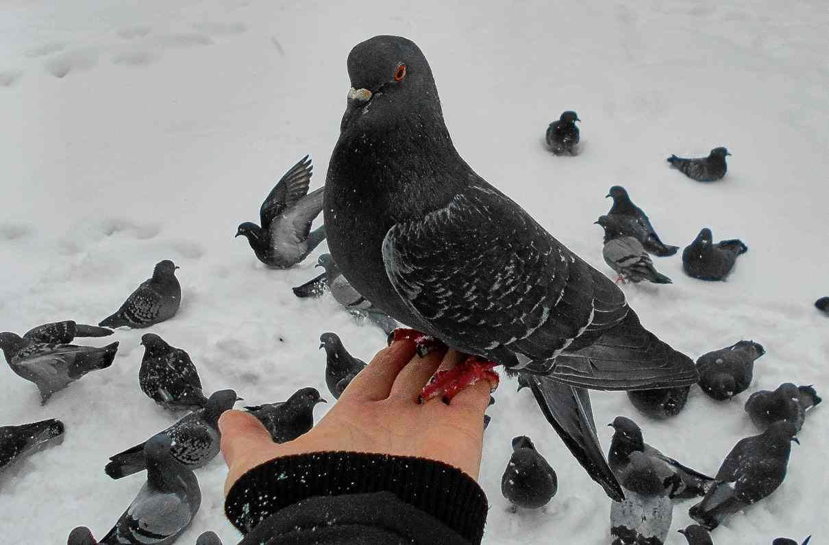 Comportamiento de las palomas