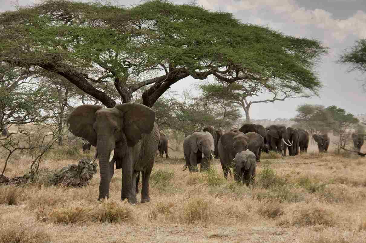 comportamiento de los elefantes en manada