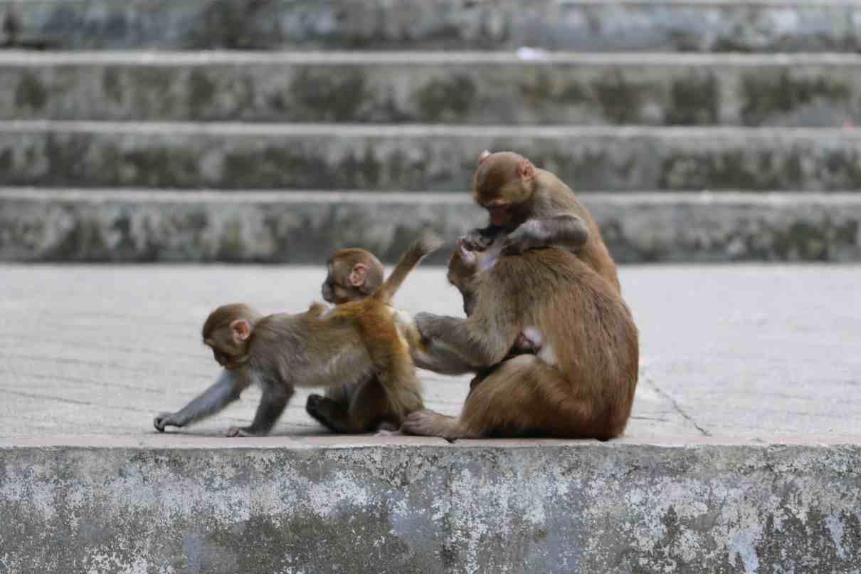 Primates del Viejo Mundo