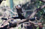 Primates de Sudamérica, modos de vida y comportamientos