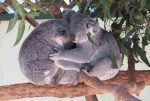 Comportamiento de los koalas, relaciones y comunicación