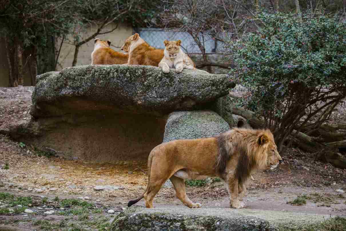 Comportamiento de los leones