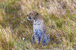 Comportamiento del leopardo (Panthera pardus)