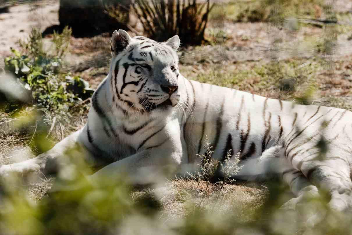 Comportamiento del tigre, Panthera tigris