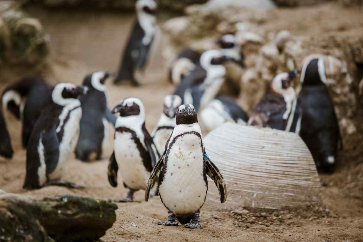 Relaciones intraespecíficas, ejemplo pingüinos.