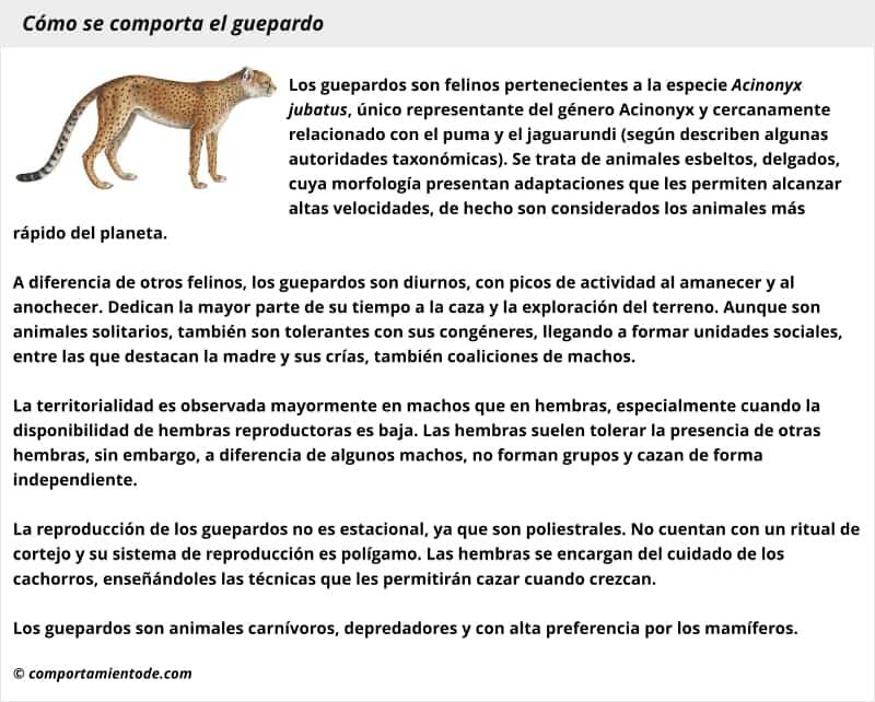 Resumen con esquema sobre cómo se comporta el guepardo,  Acinonyx jubatus
