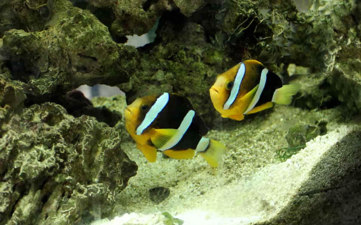 Cómo se comporta el pez payaso
