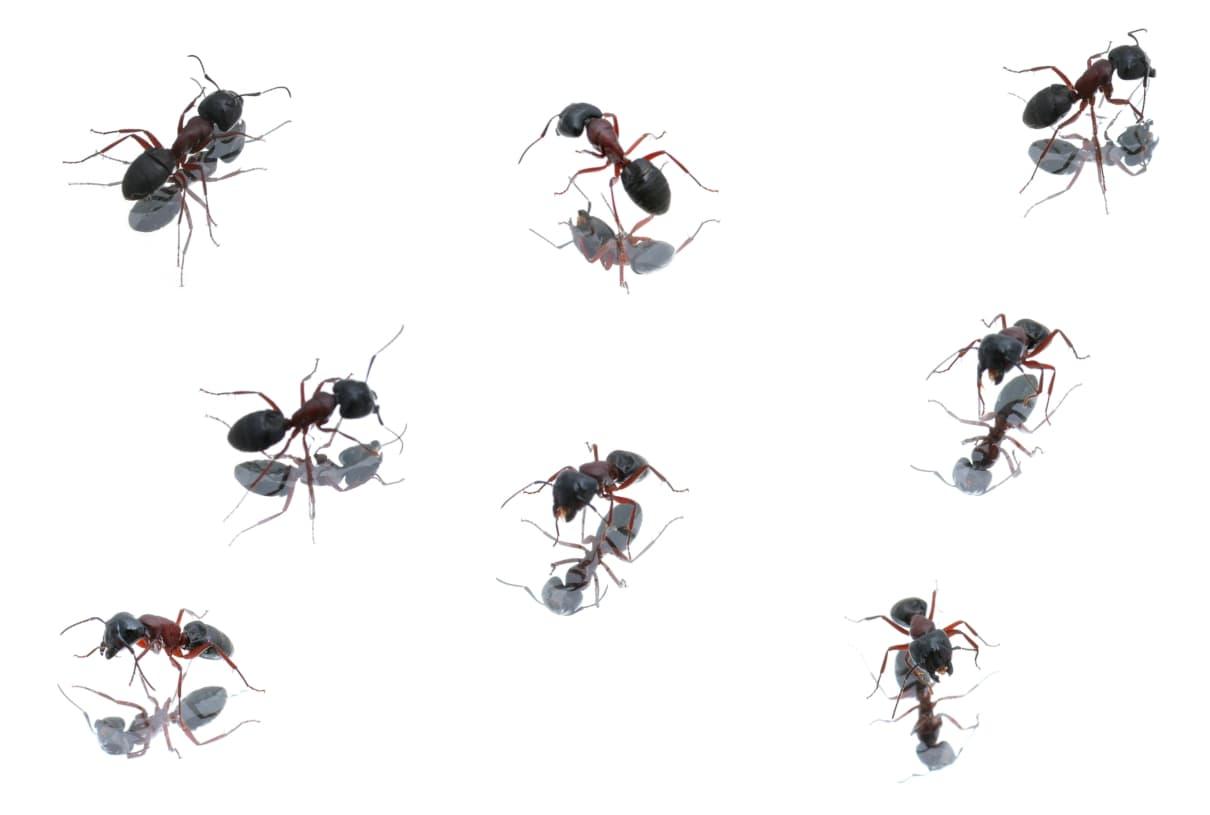 Comportamiento de las hormigas (formícidos)
