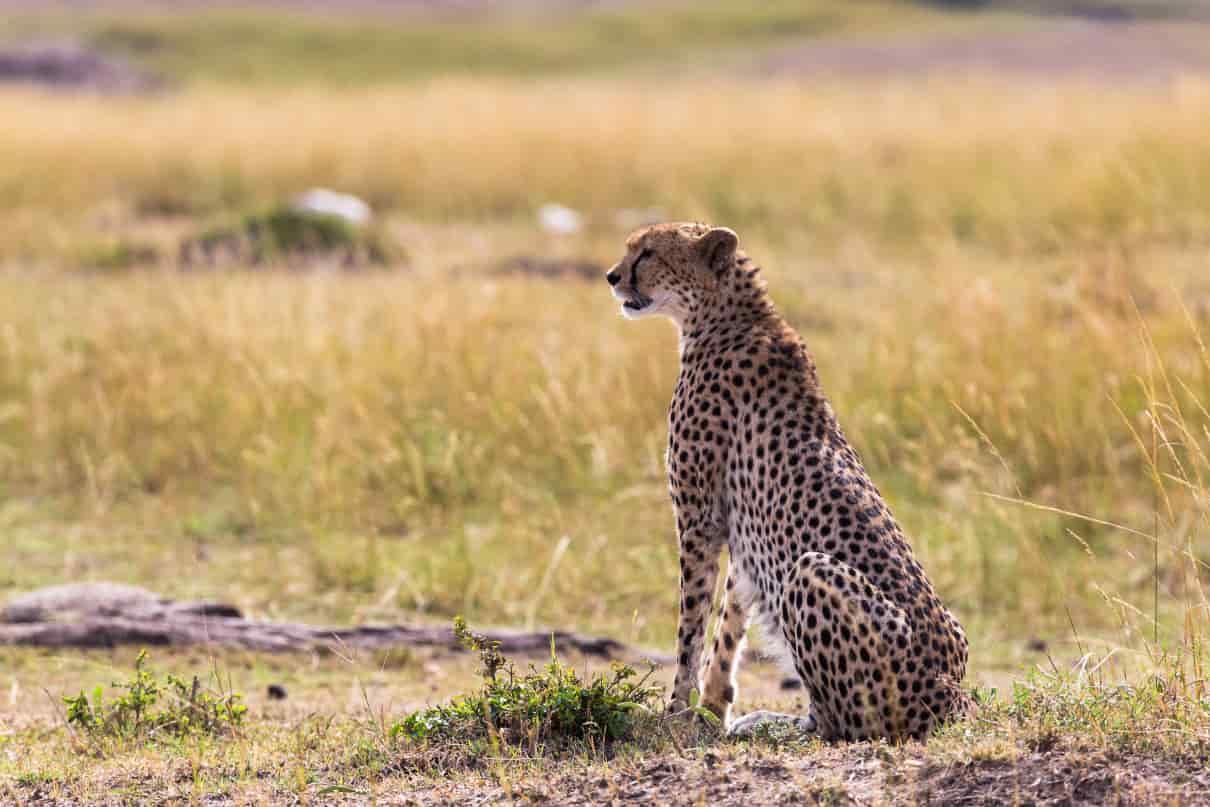 foto seleccionada para cómo se comporta el leopardo,  Acinonyx jubatus