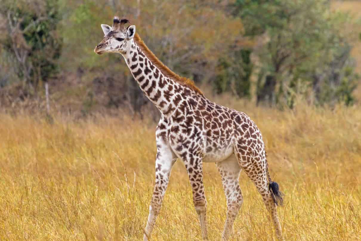 Cómo se comporta la jirafa