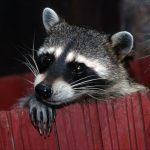 Comportamiento del mapache (Procyon)